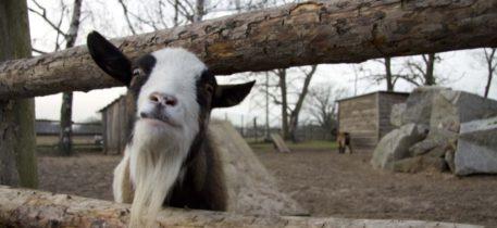 KiTa Erkner - Ziege schaut durch Zaun